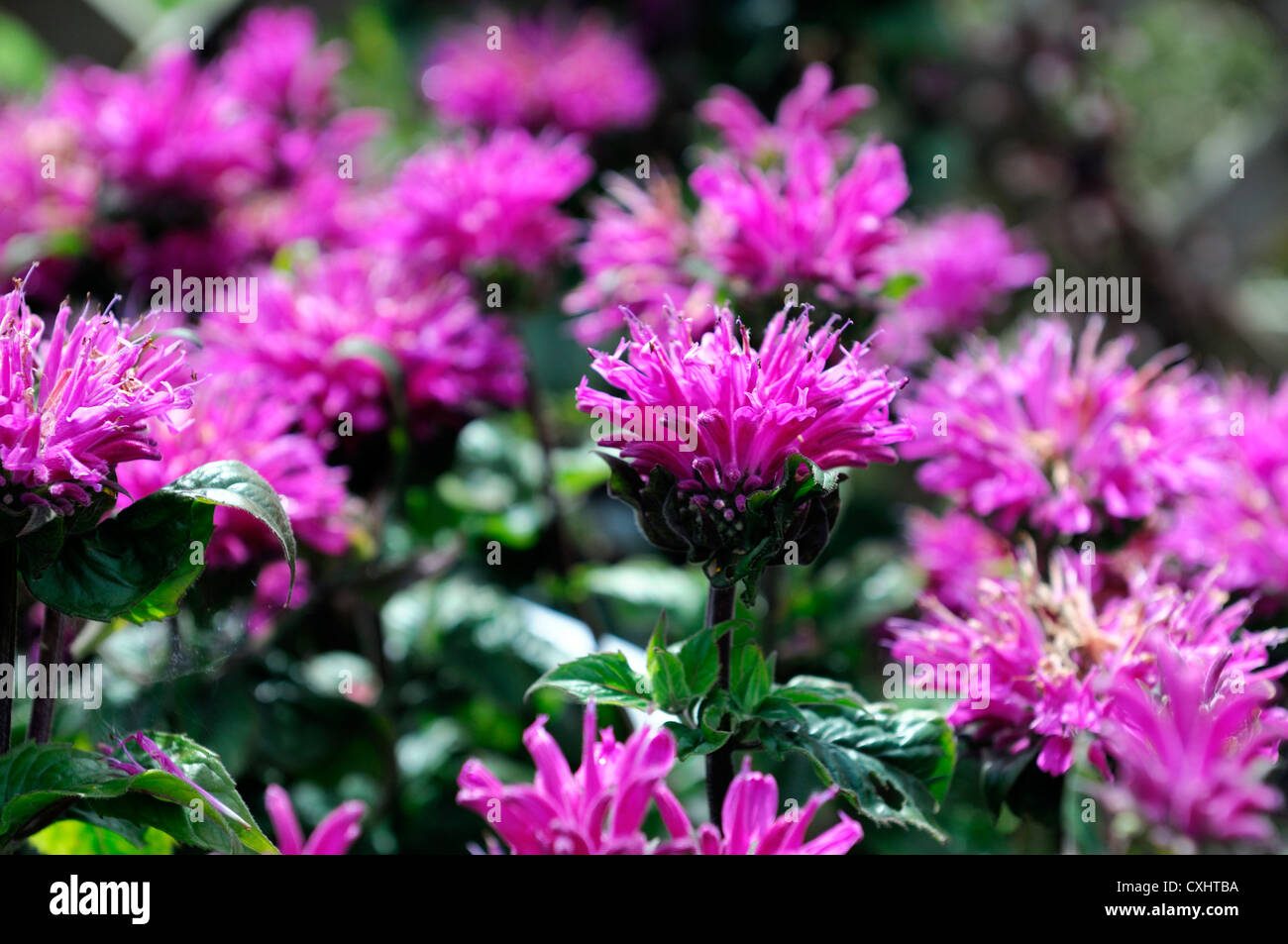 monarda didyma cranberry lace pink flower bee balm bergamot flowers perennials bloom blossom bee insect friendly Stock Photo