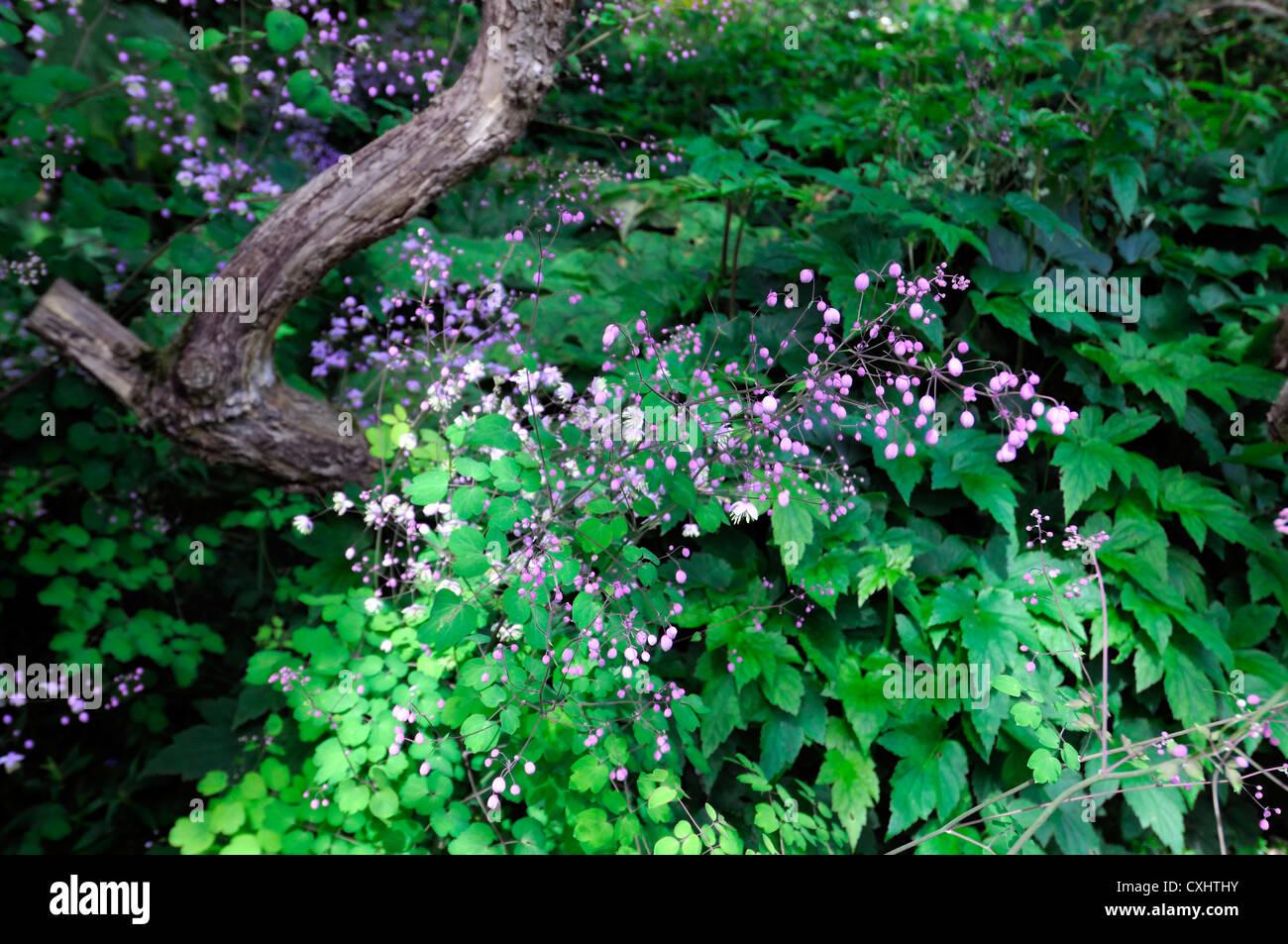 Thalictrum delavayi purple perennials flowers shade shaded woodland wood setting shady plant - Stock Image