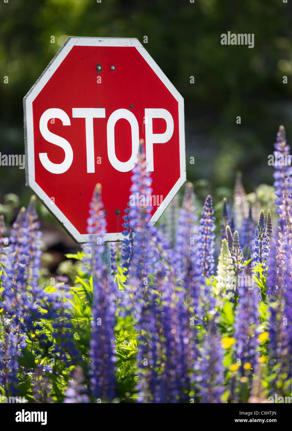 Stop sign with lupine flowers , Finland - Stock Image