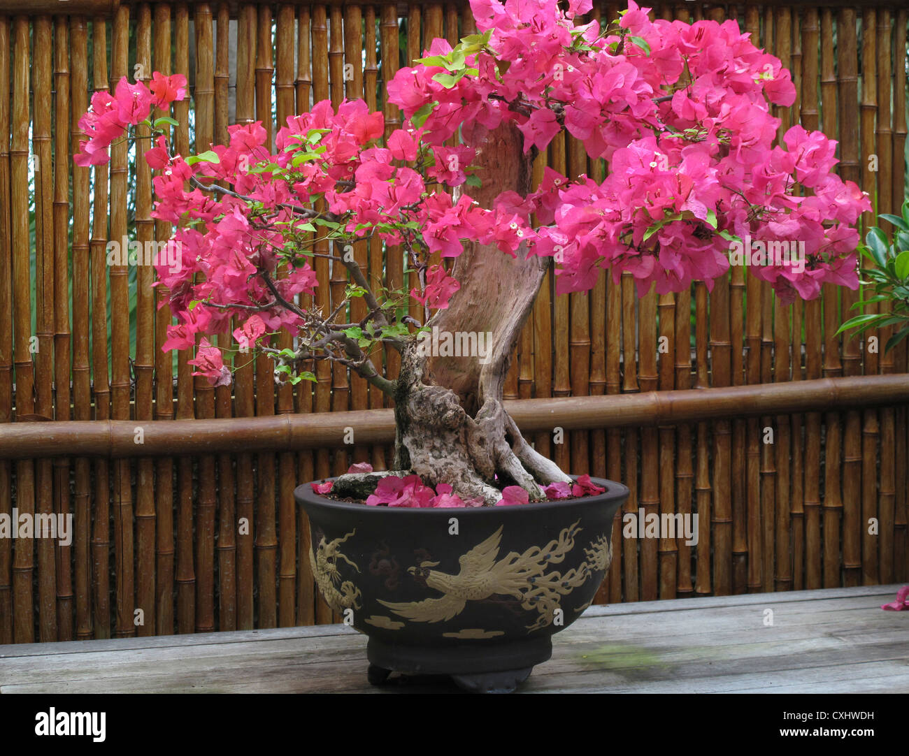 Bamboo Bonsai High Resolution Stock Photography And Images Alamy