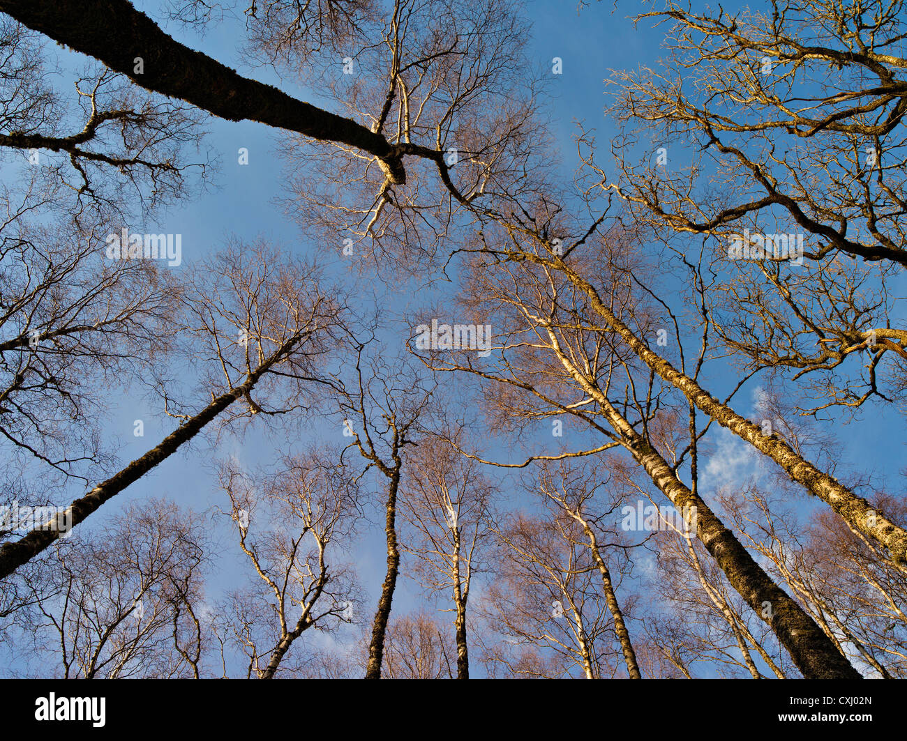 Looking up into the canopy of bare winter woodland near Killin, Perthshire Scotland Stock Photo