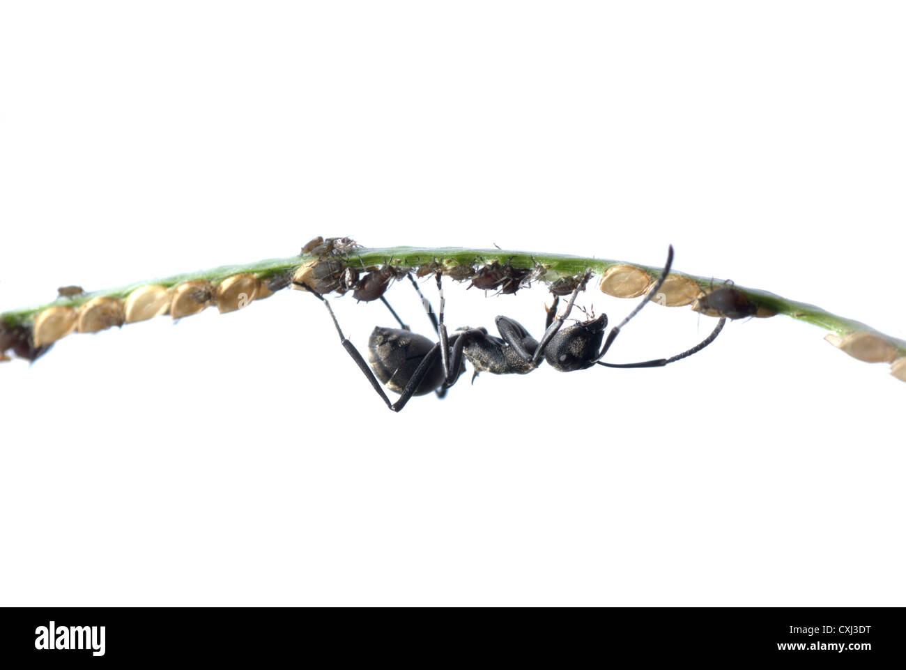 ant and aphid symbiosis - Stock Image