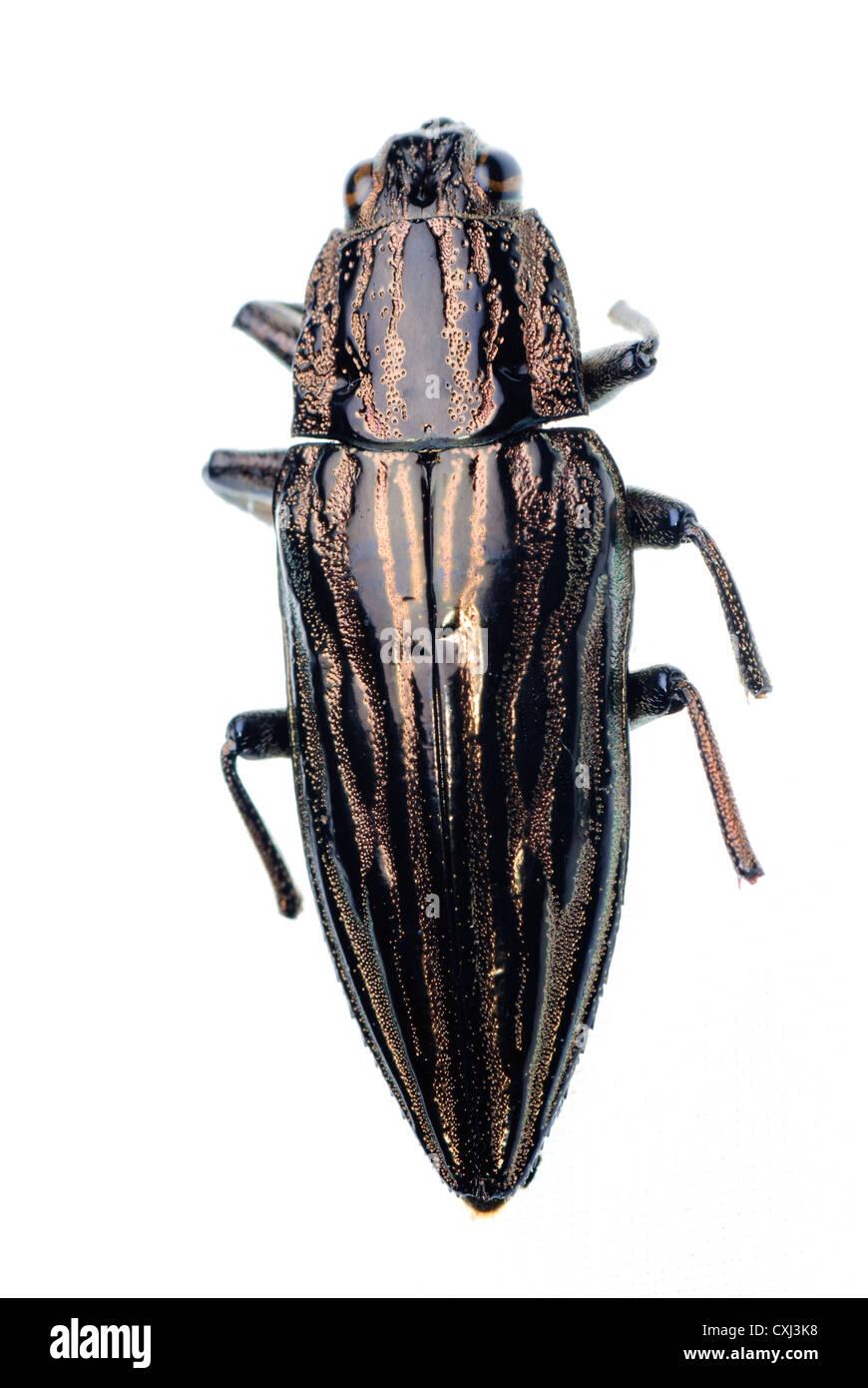 insect jewel beetle - Stock Image