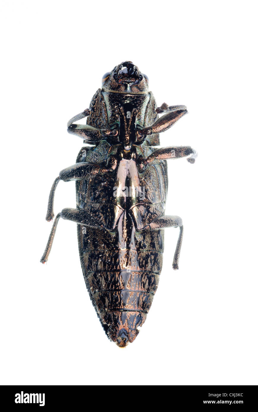 insect jewel beetle - Stock Image