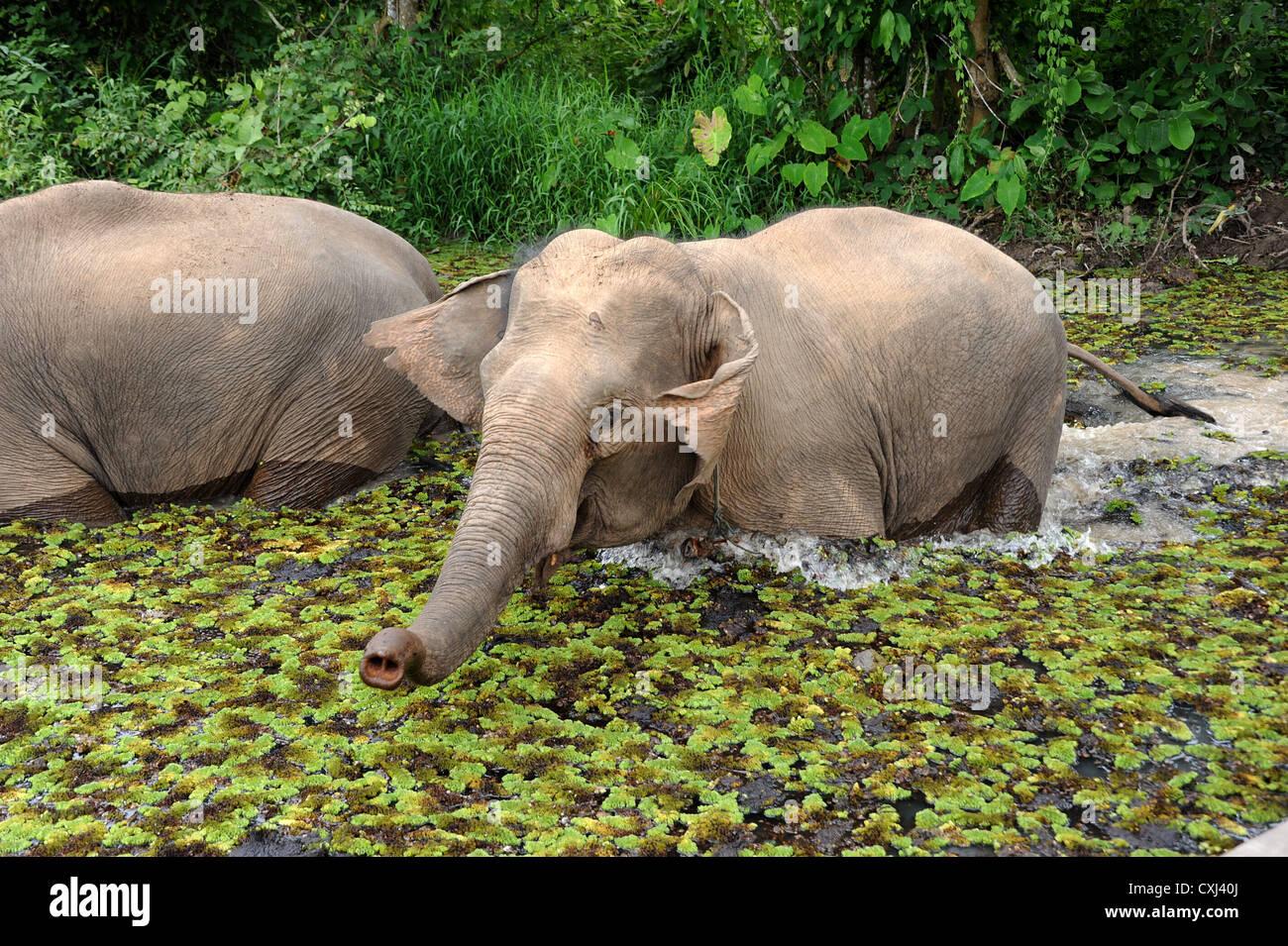 Elephant life at Elephant Conservation Center, Sayaboury, Laos. - Stock Image