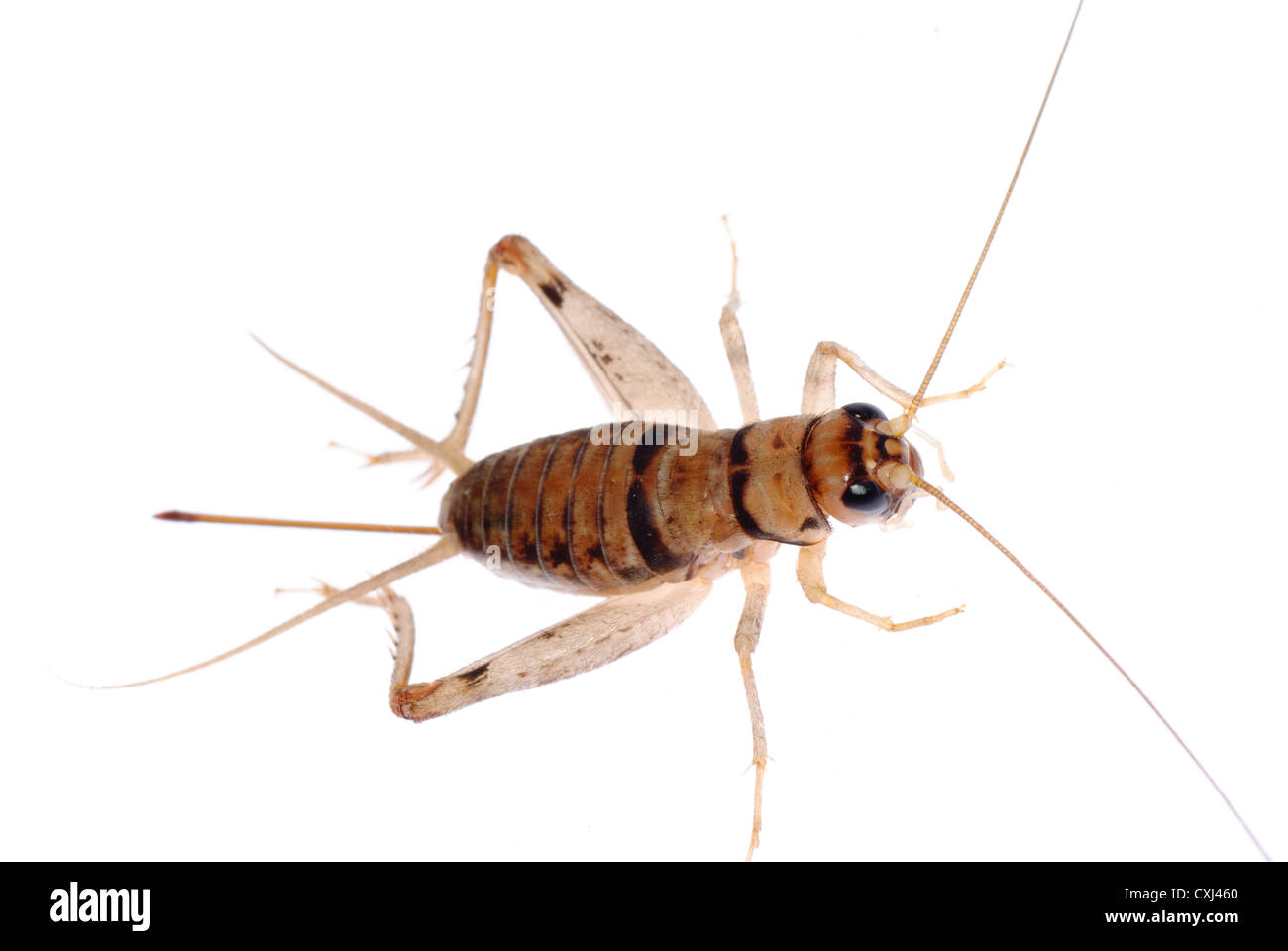 insect cricket - Stock Image