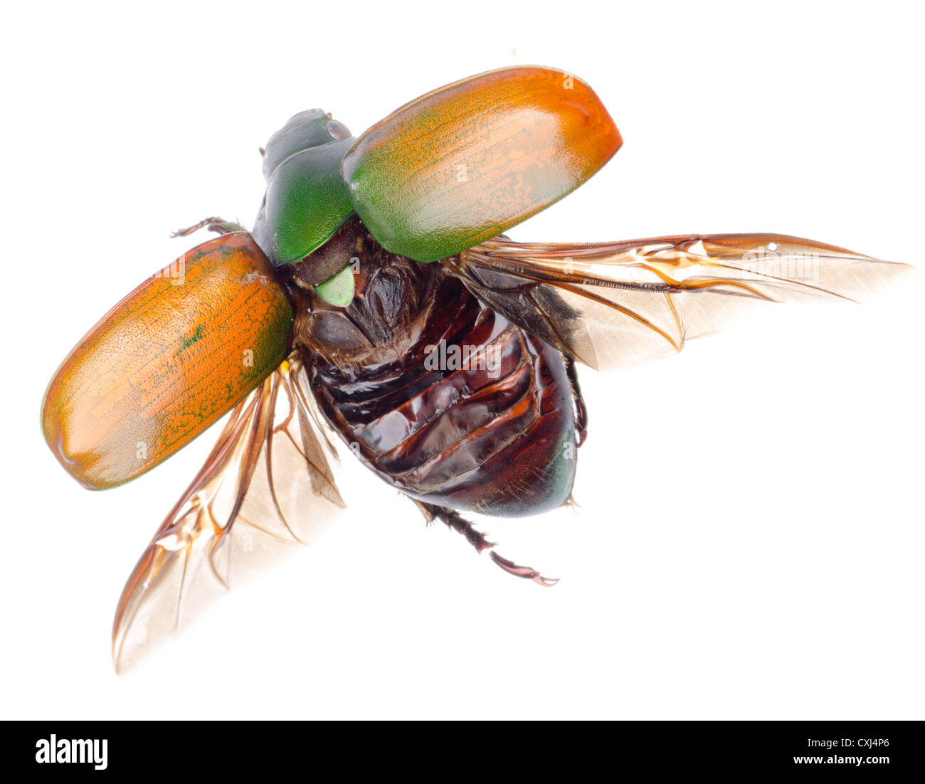 flying insect scarab beetle - Stock Image