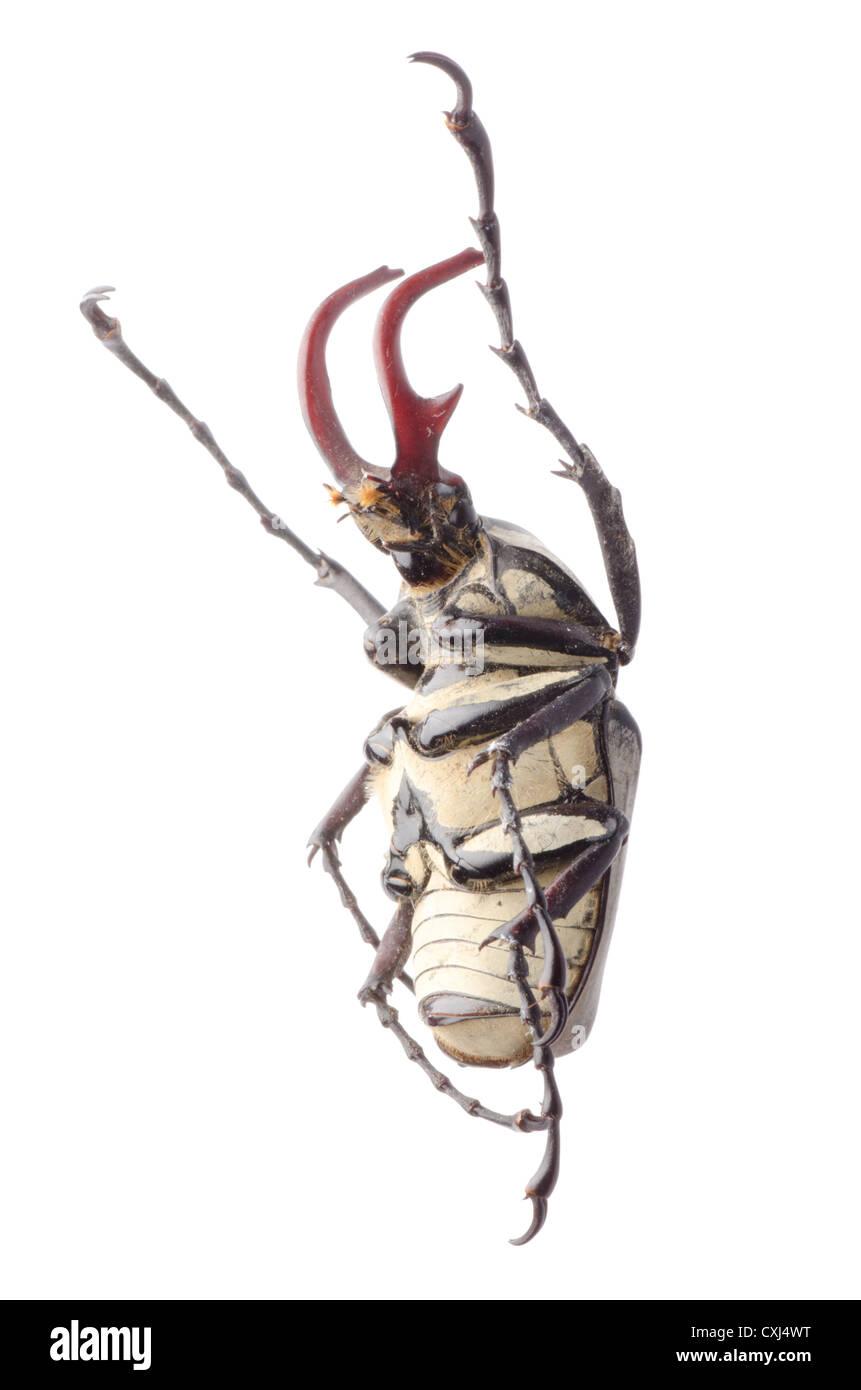 hart horn flower beetle - Stock Image