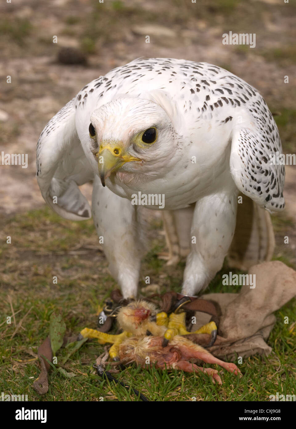 Falcon with its prey (chick) at a Forestry Commission Discovery Day, Alice Holt Forest, Farnham, Surrey, UK. - Stock Image