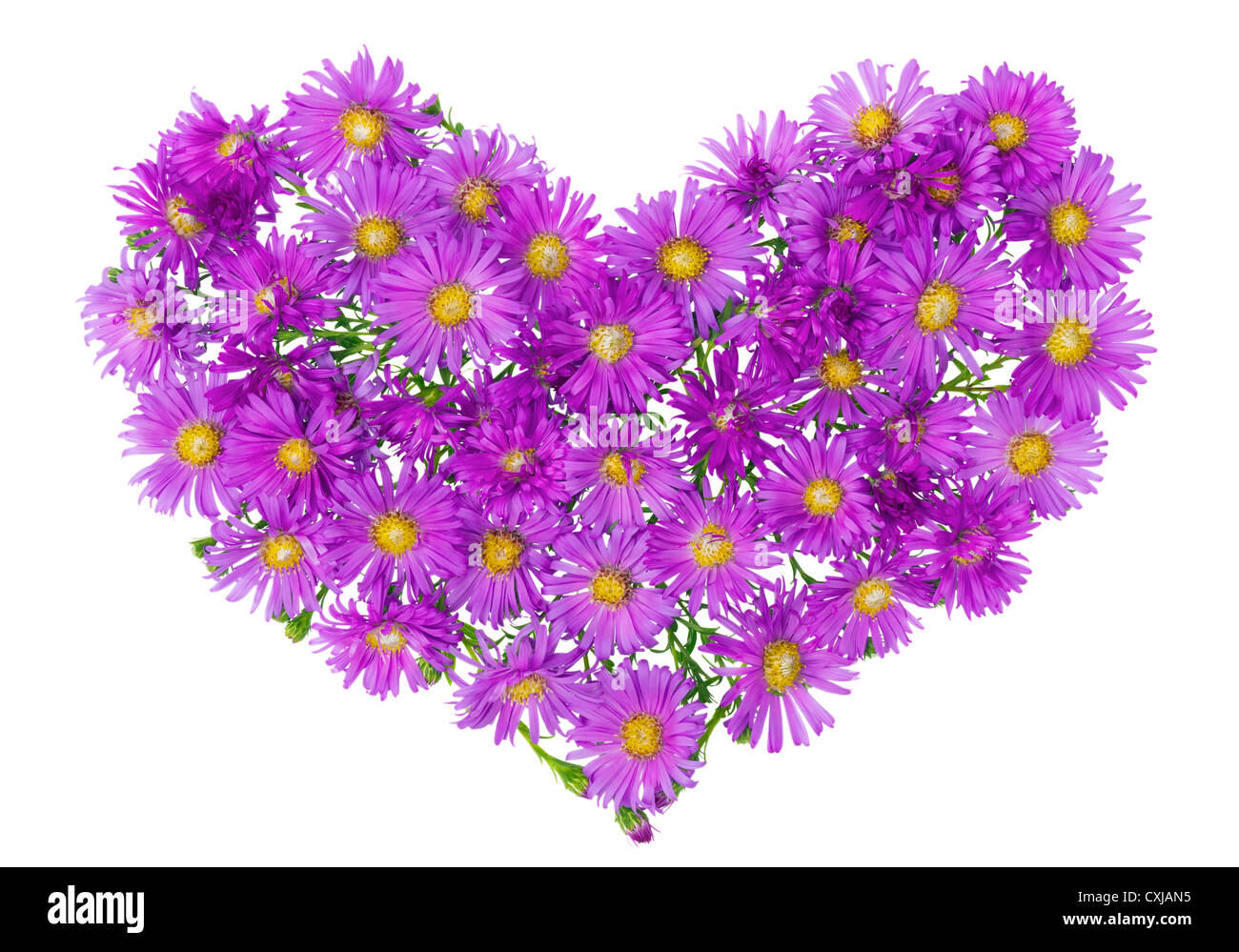 Heart floral symbol from autumn magenta chrysanthemums flowers background. Isolated - Stock Image