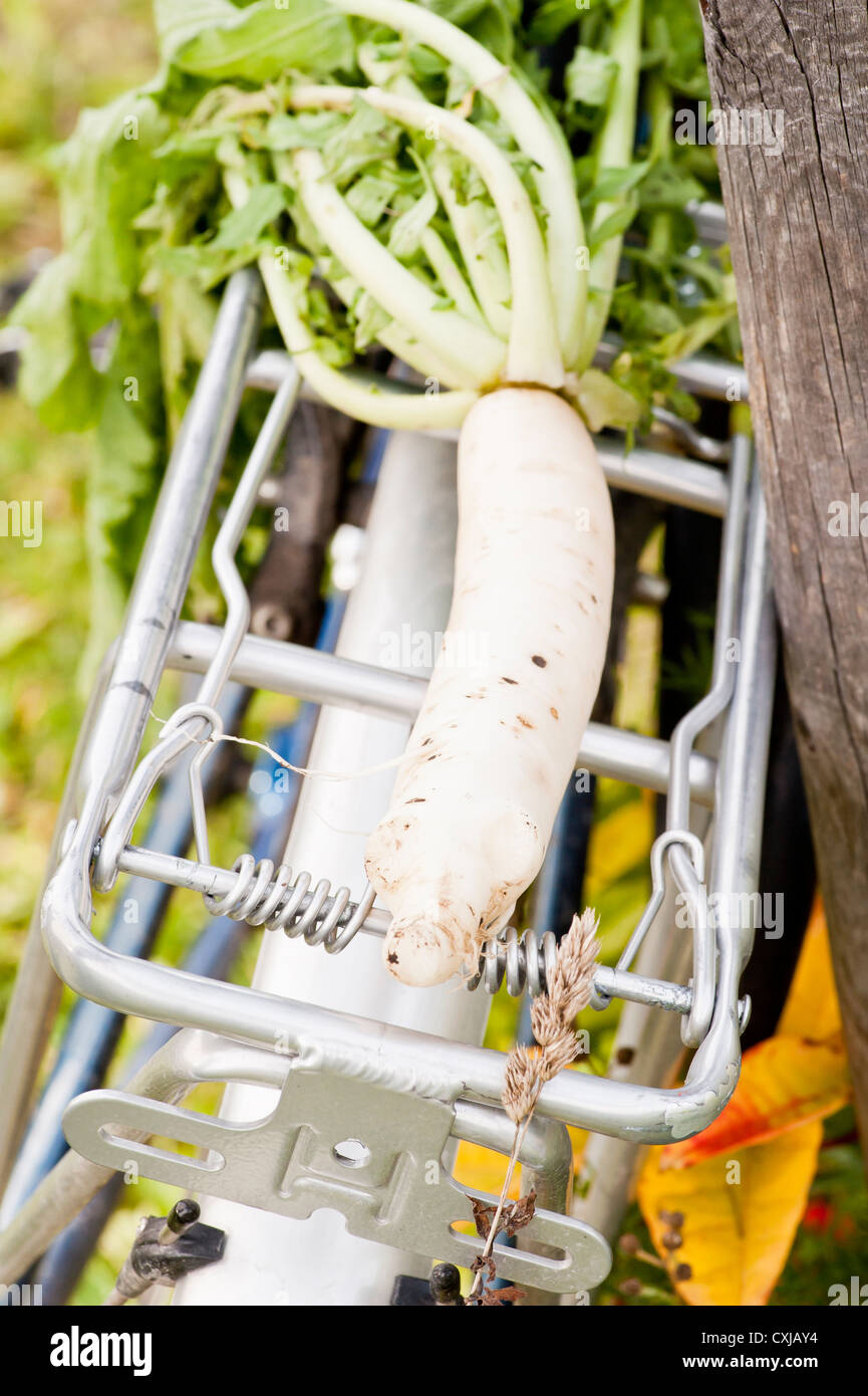 Green lifestyle moment with Daikon harvested and put on bicycle carrier Stock Photo