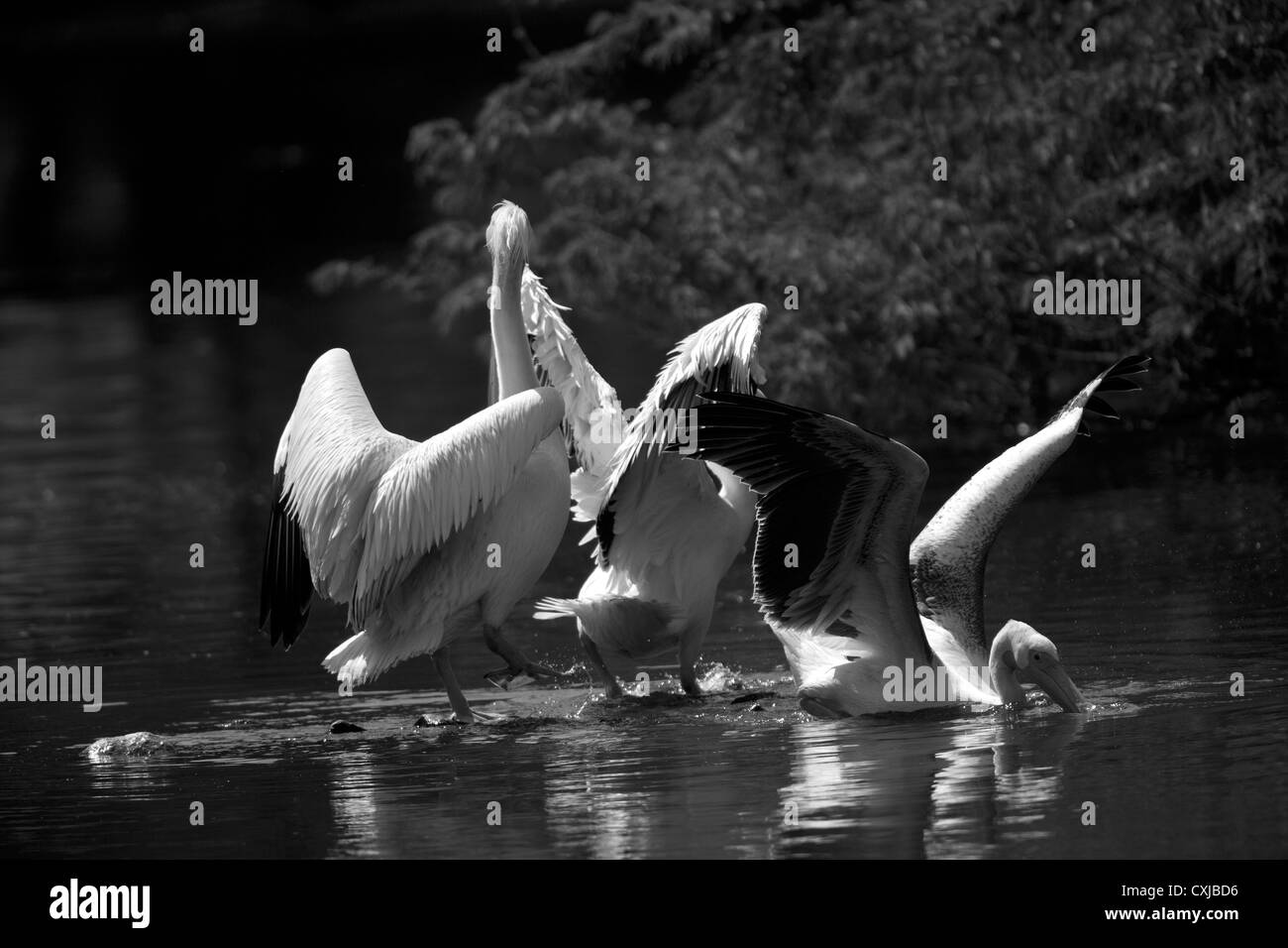 Great White Pelican - Stock Image