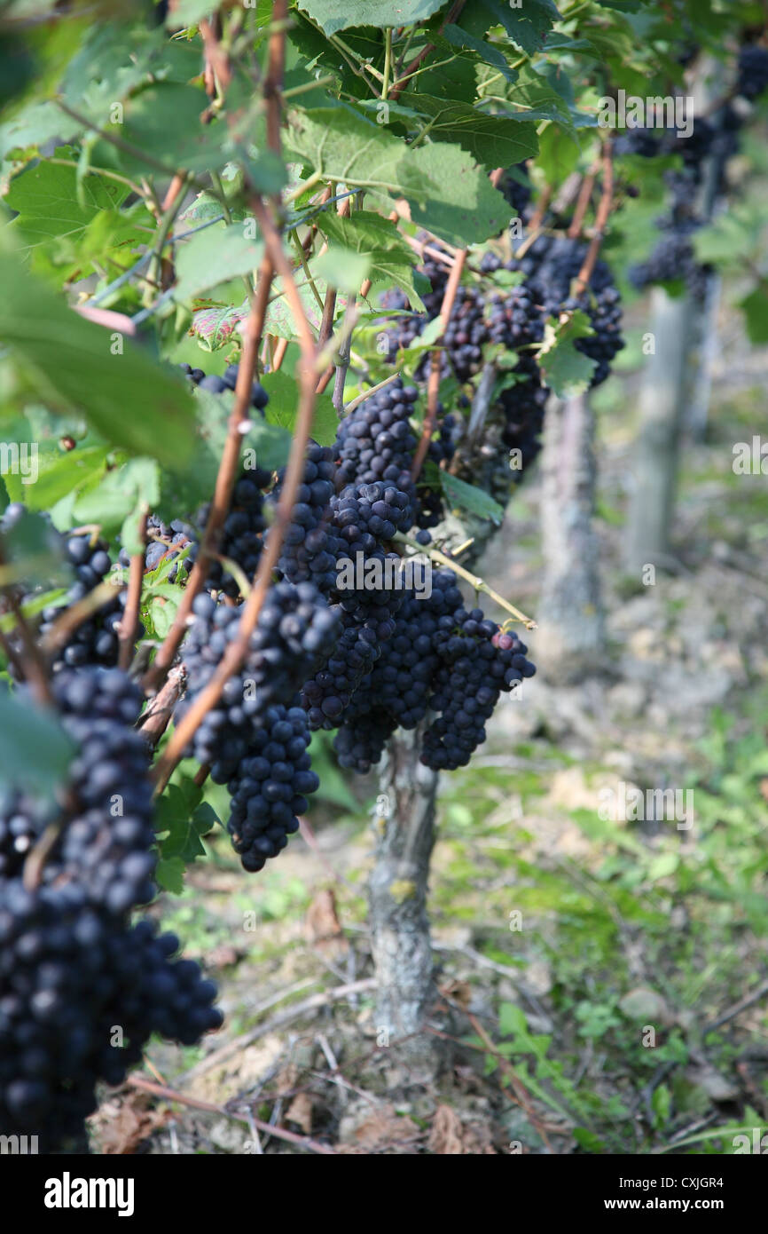 wein ernte weinfeld traubenlese natur vintage wine grape harvest field nature ackerbau full landschaft natur niemand - Stock Image