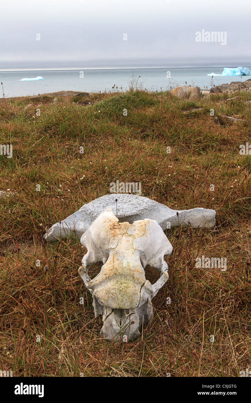 Skull and vertebrae of walrus on tundra ground in Canadian high arctic. - Stock Image