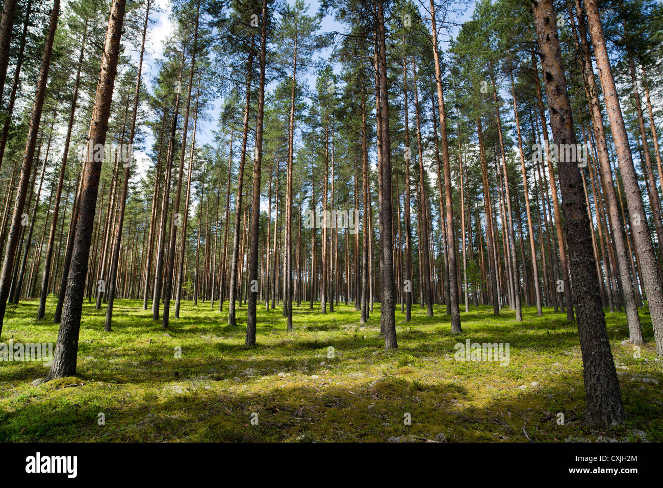 Boreal pine ( pinus sylvestris ) forest growing on dry heathland at glacial esker , Finland - Stock Image