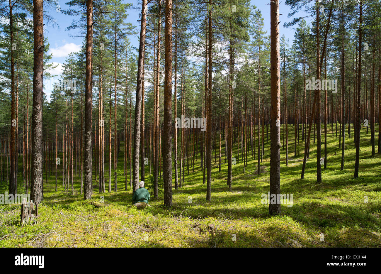 Pine ( pinus sylvestris ) forest growing on dry esker heathland and an elderly woman sitting. , Finland - Stock Image