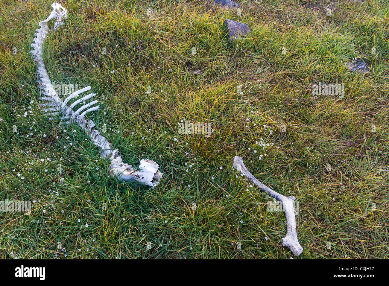 Remains of caribou lie in tundra grass on the coast of northern Greenland. - Stock Image