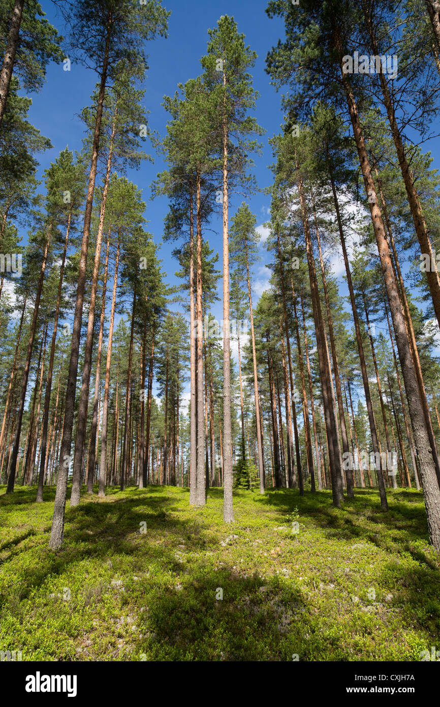 Boreal pine ( pinus sylvestris ) forest growing on dry heathland on glacial esker , Finland - Stock Image