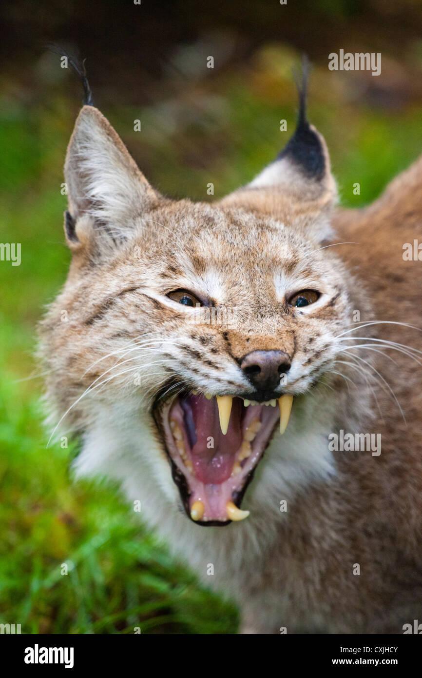 Lynx (Lynx lynx) - Stock Image