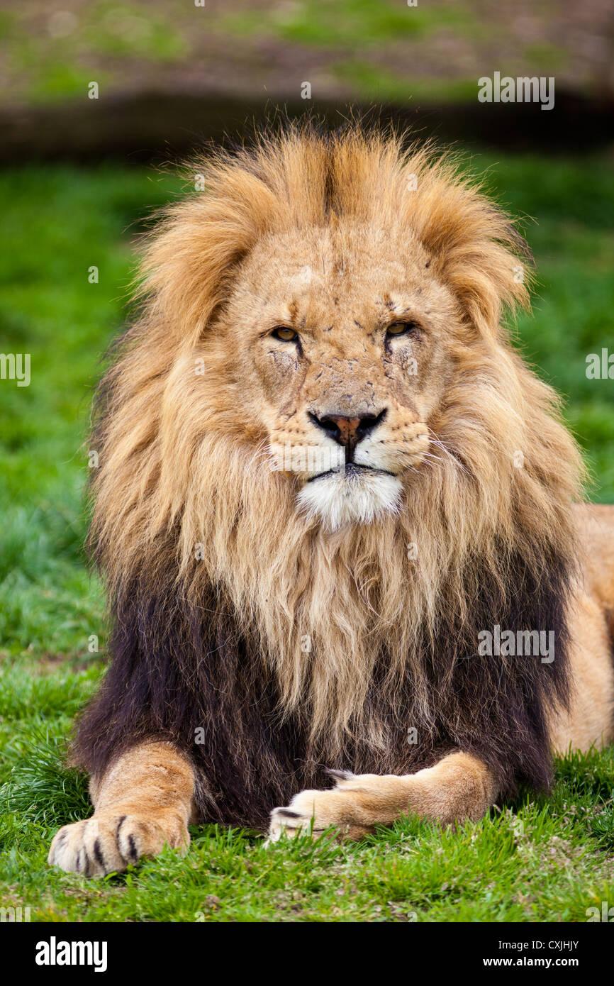 African Lion (Panthera leo) - Stock Image