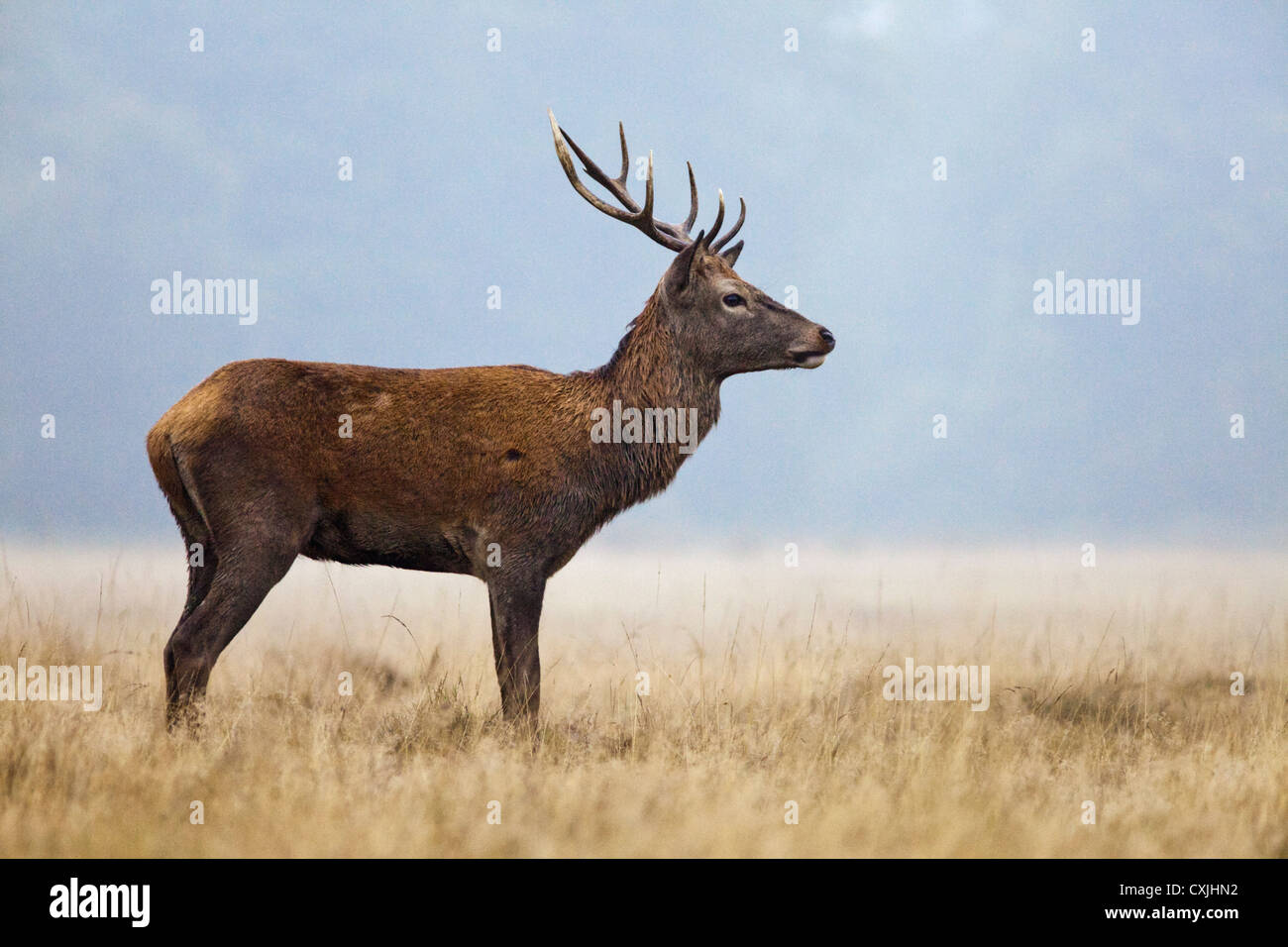 Red Deer (Cervus Elaphus) stag portrait standing, Richmond Park, UK - Stock Image