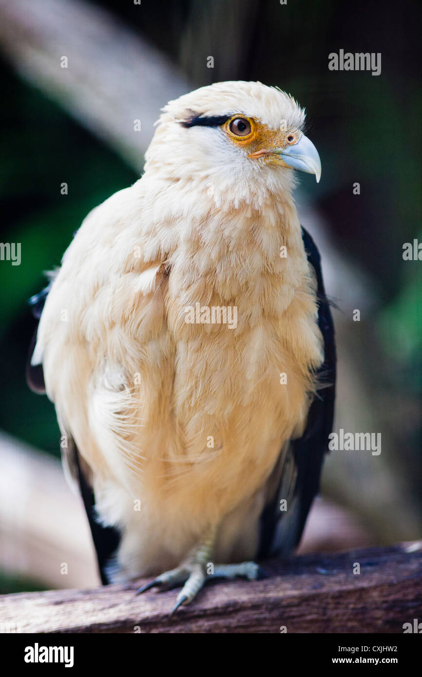 Yellow-headed Caracara bird - Milvago chimachima - Stock Image
