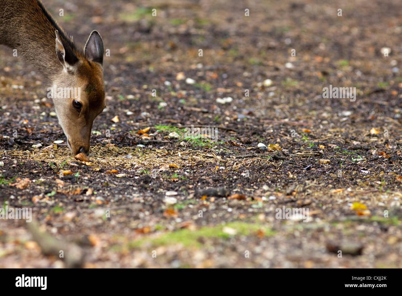 Sika deer (Cervus nippon) feeding Stock Photo