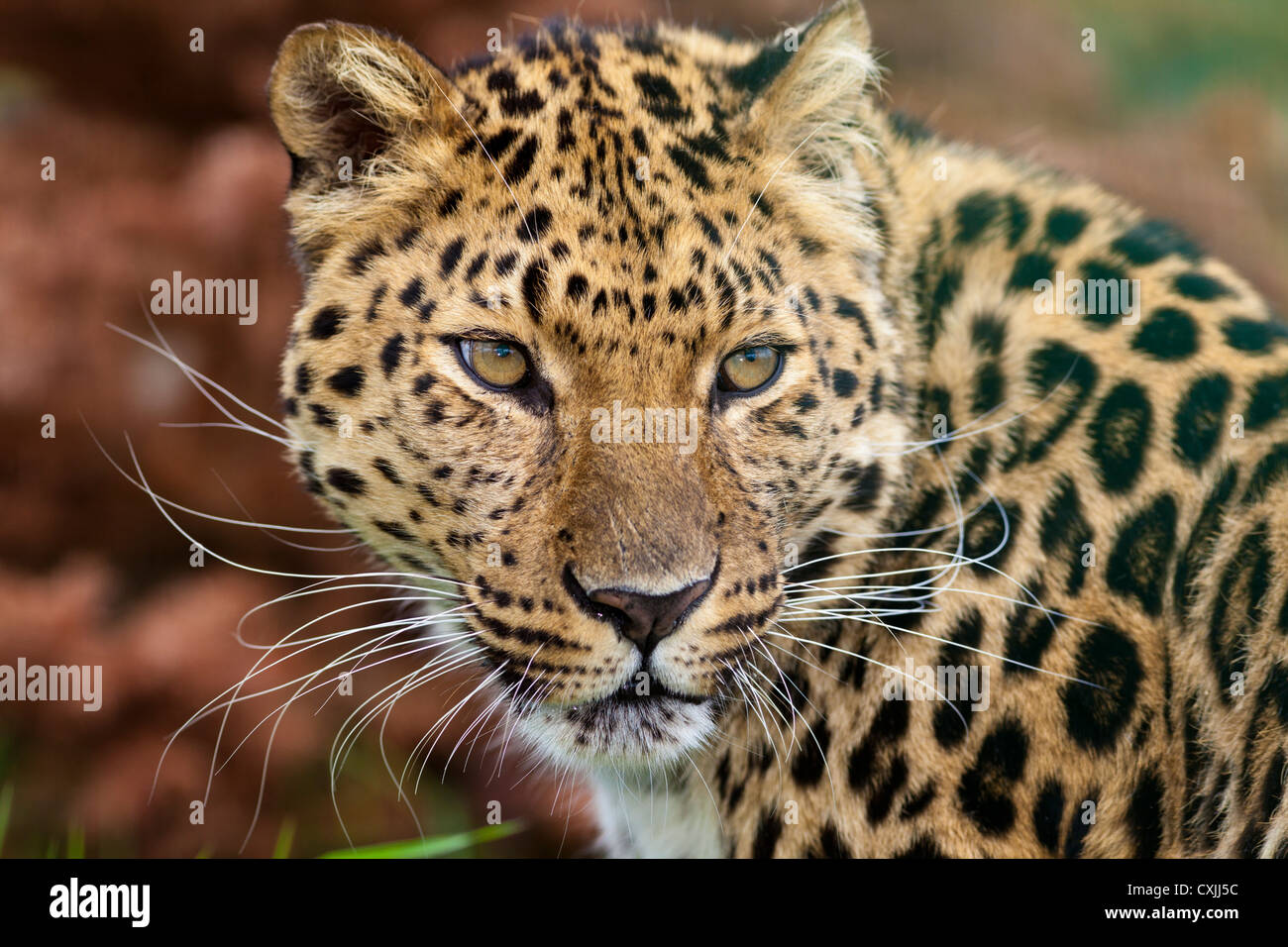 Amur leopard (Panthera pardus) - Stock Image