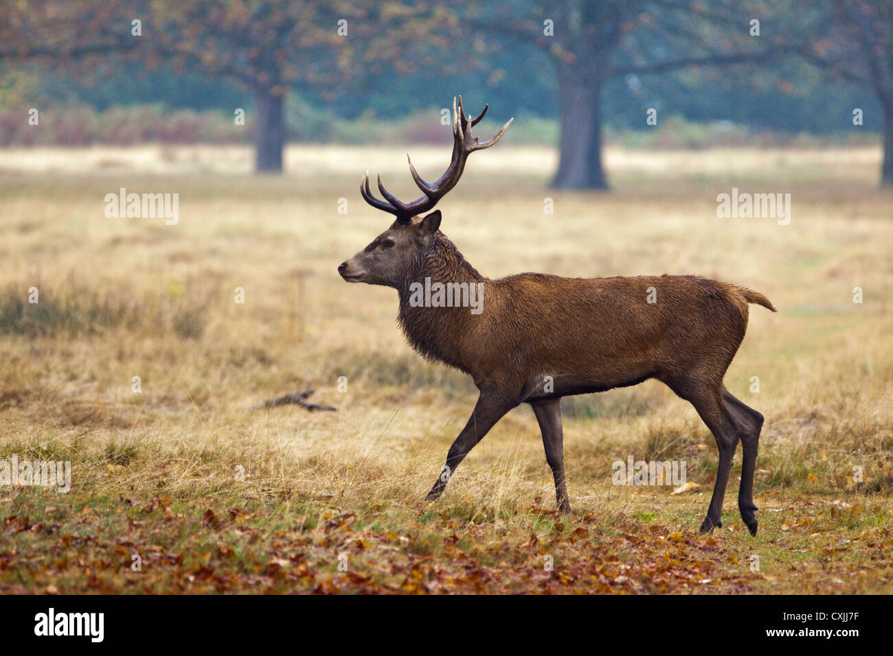 Red Deer (Cervus Elaphus) stag portrait, walking, profile, Richmond Park, UK - Stock Image