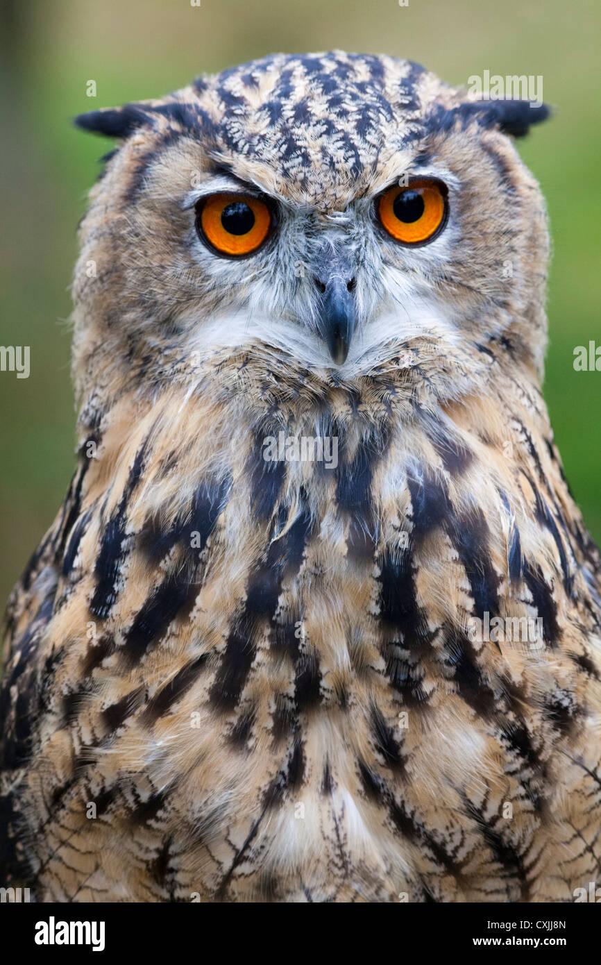 Eurasian Eagle Owl (Bubo bubo) portrait, UK - Stock Image