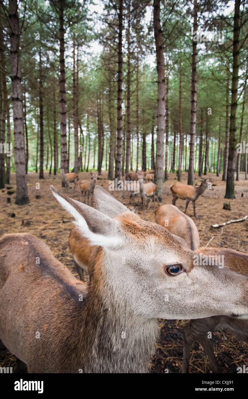 Red deer (Cervus elaphus) in a forest UK - Stock Image