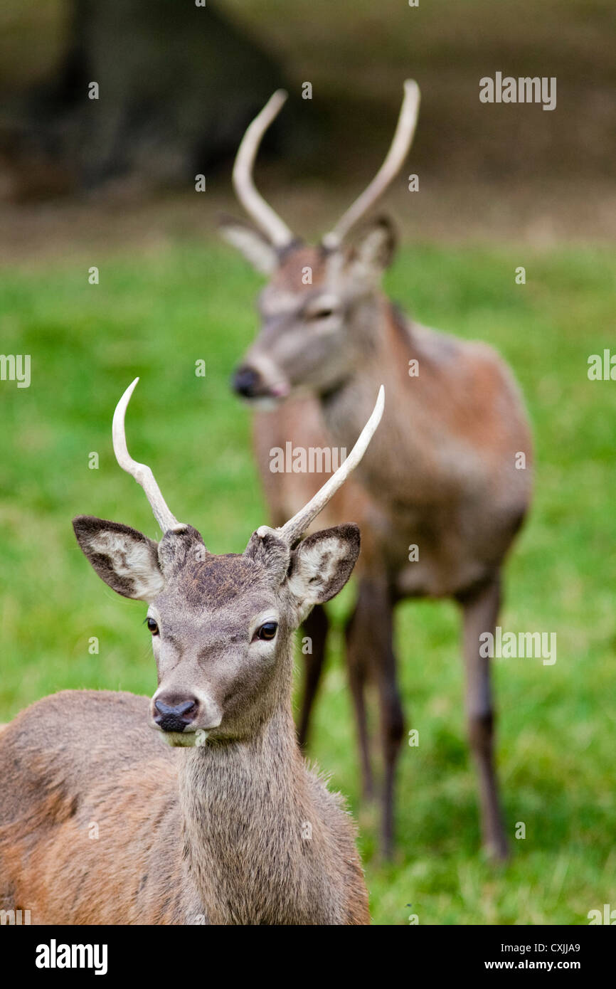 Red deer (Cervus elaphus) young stag, UK - Stock Image