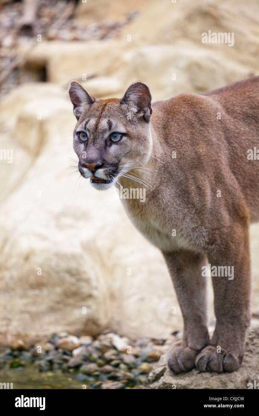 Puma (Puma concolor) - Stock Image