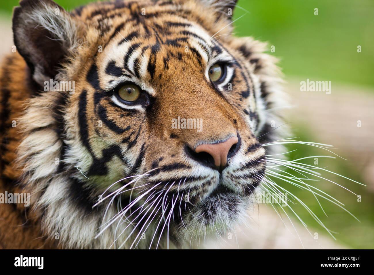 Tiger (Panthera tigris) close portrait Stock Photo