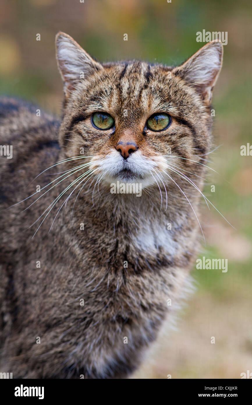Wild cat (Felis silvestris) portrait, UK Stock Photo