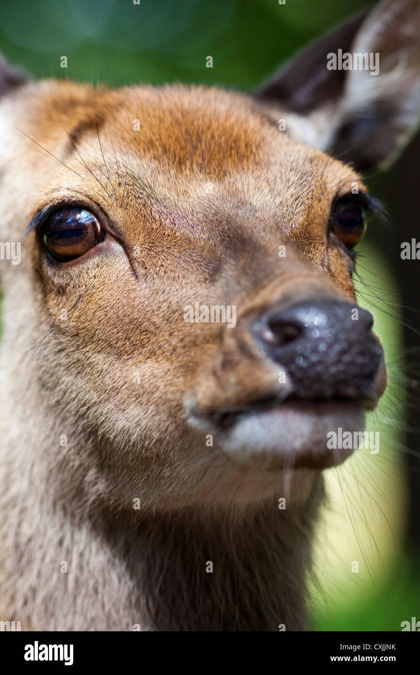 Sika deer (Cervus nippon) closeup Stock Photo