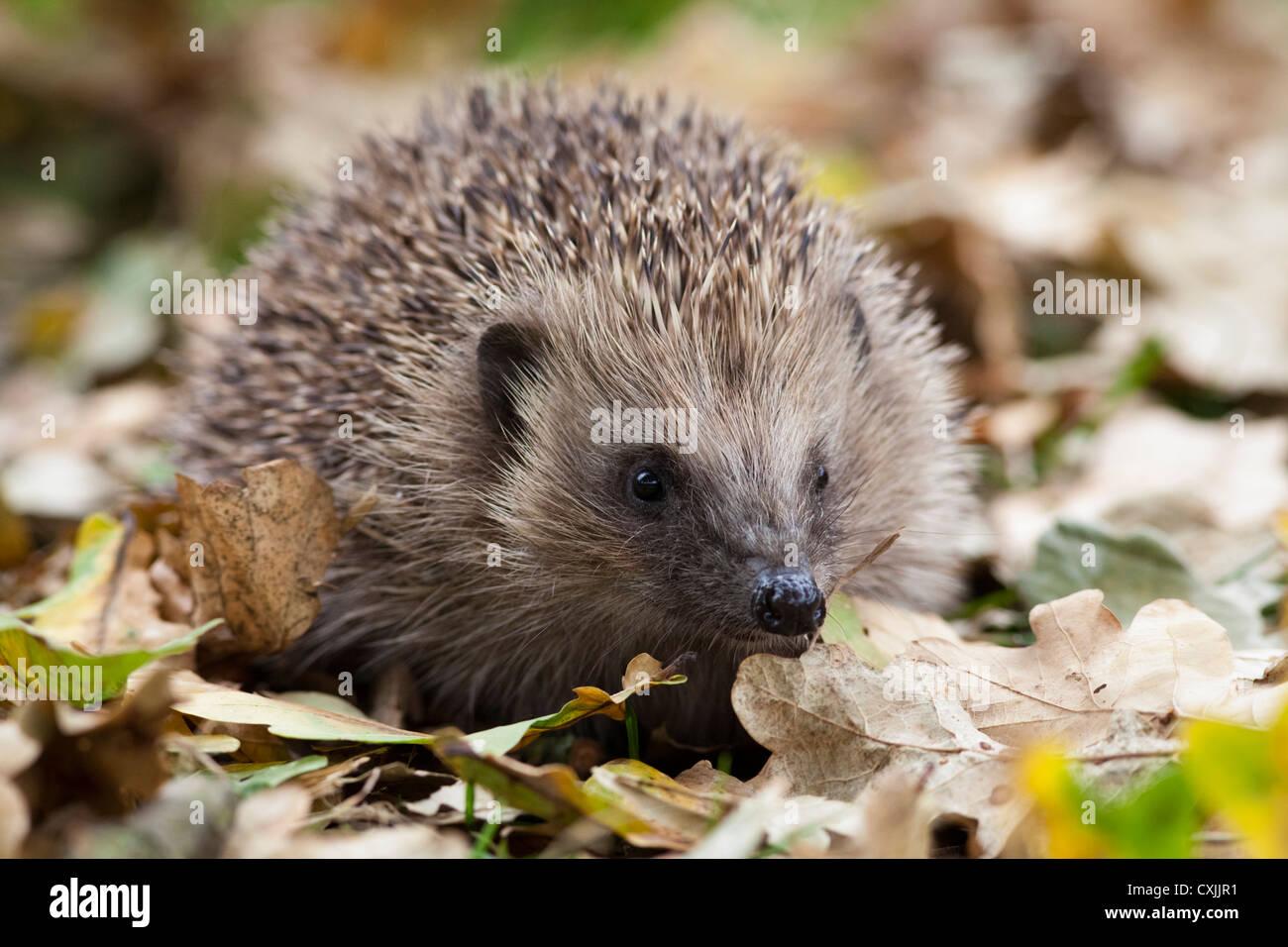 European Hedgehog (Erinaceus europaeus) in autumn leaves, UK - Stock Image