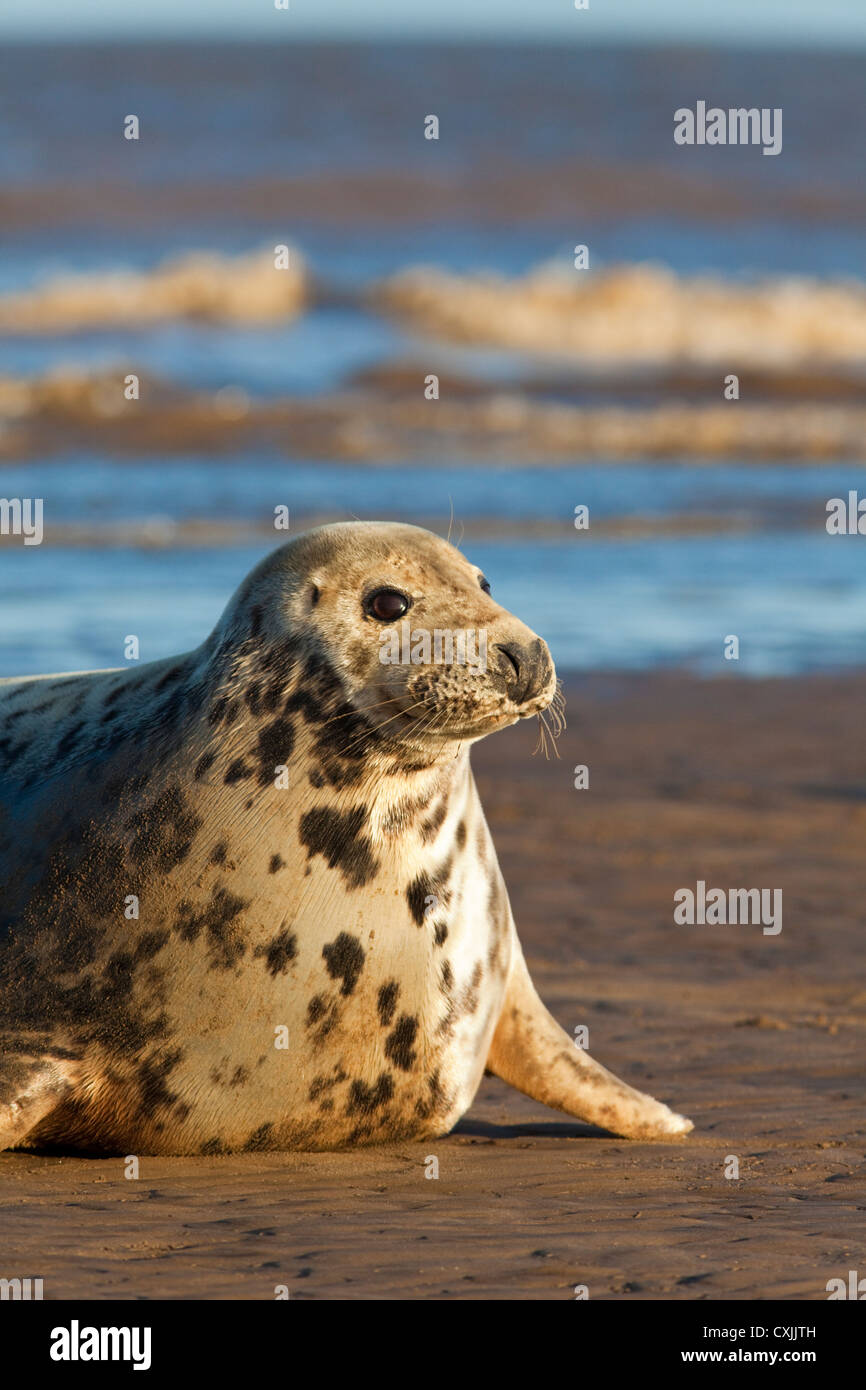 Grey Seal (Halichoerus grypus) on beach, Donna Nook, UK Stock Photo