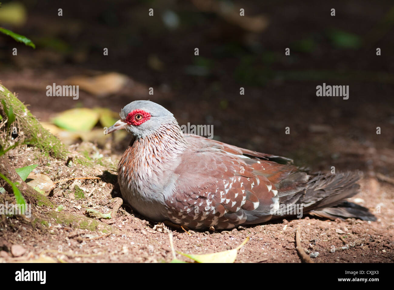 Diamond Dove (Geopelia cuneata) resting on ground - Stock Image
