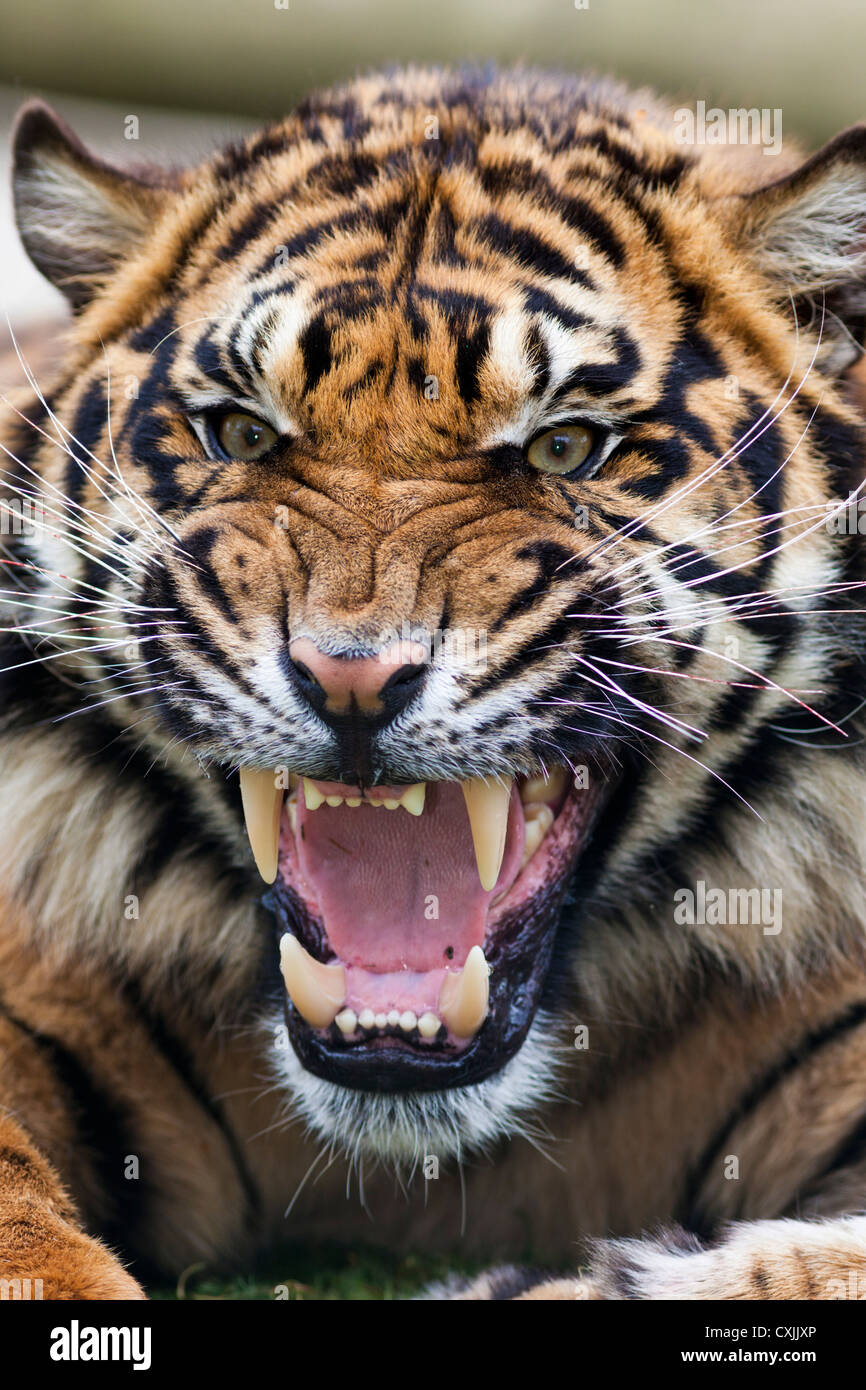 Tiger snarling - Stock Image