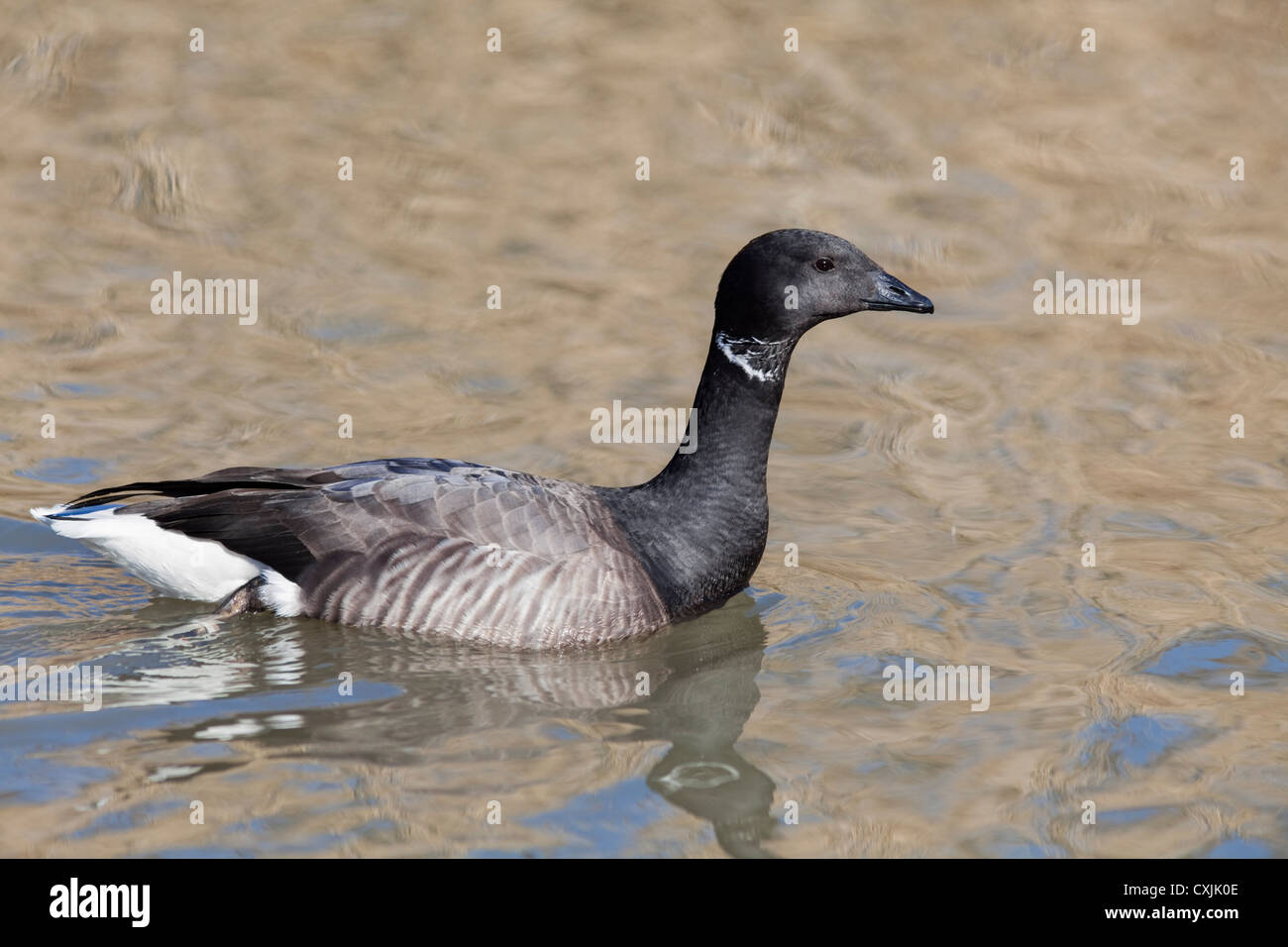 Brent goose - Stock Image