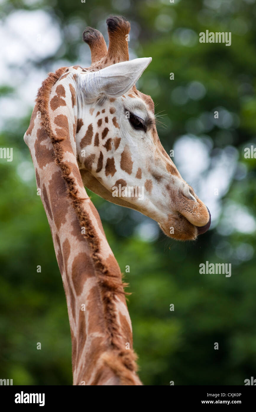 Rothschild Giraffe (Giraffa camelopardalis) neck and head profile - Stock Image