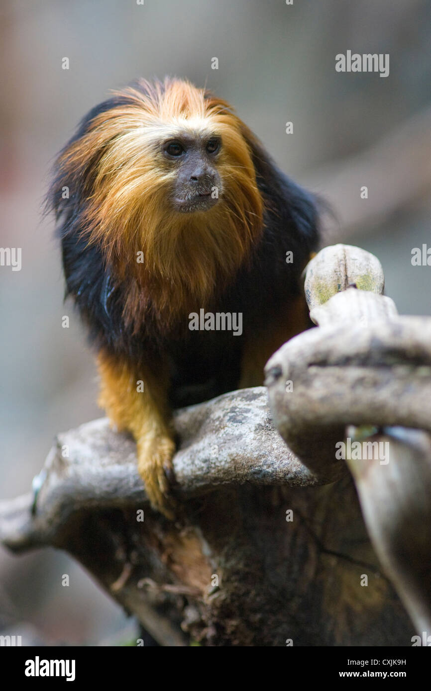 Golden Headed Lion Tamarin (Leontopithecus chrysomelas) in the trees - Stock Image