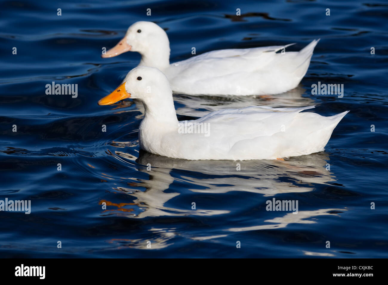 Domestic ducks (Anas platyrhynchos) in a pond, UK - Stock Image