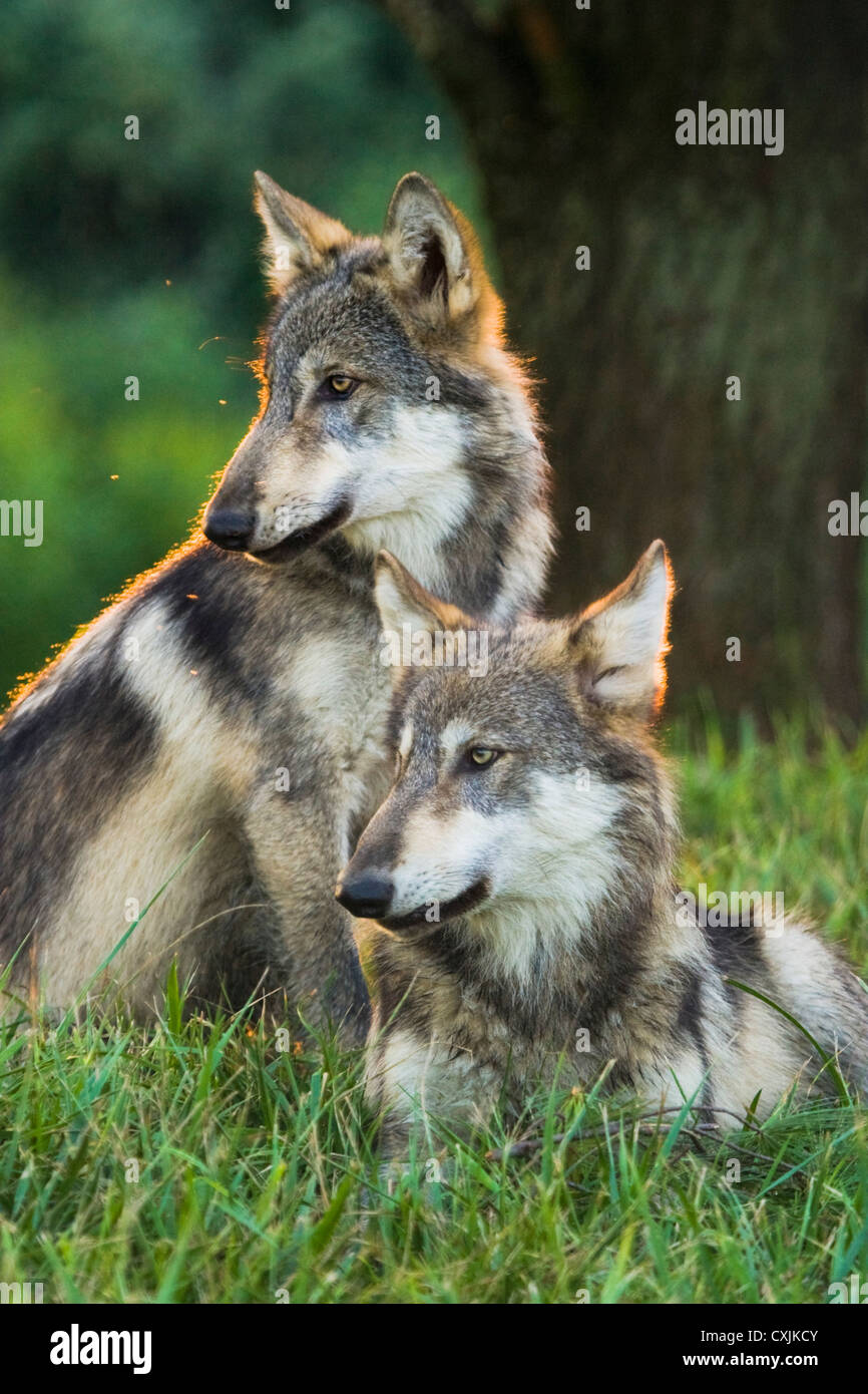Grey Wolf in the wild (Canis lupus) Indiana, USA Stock Photo