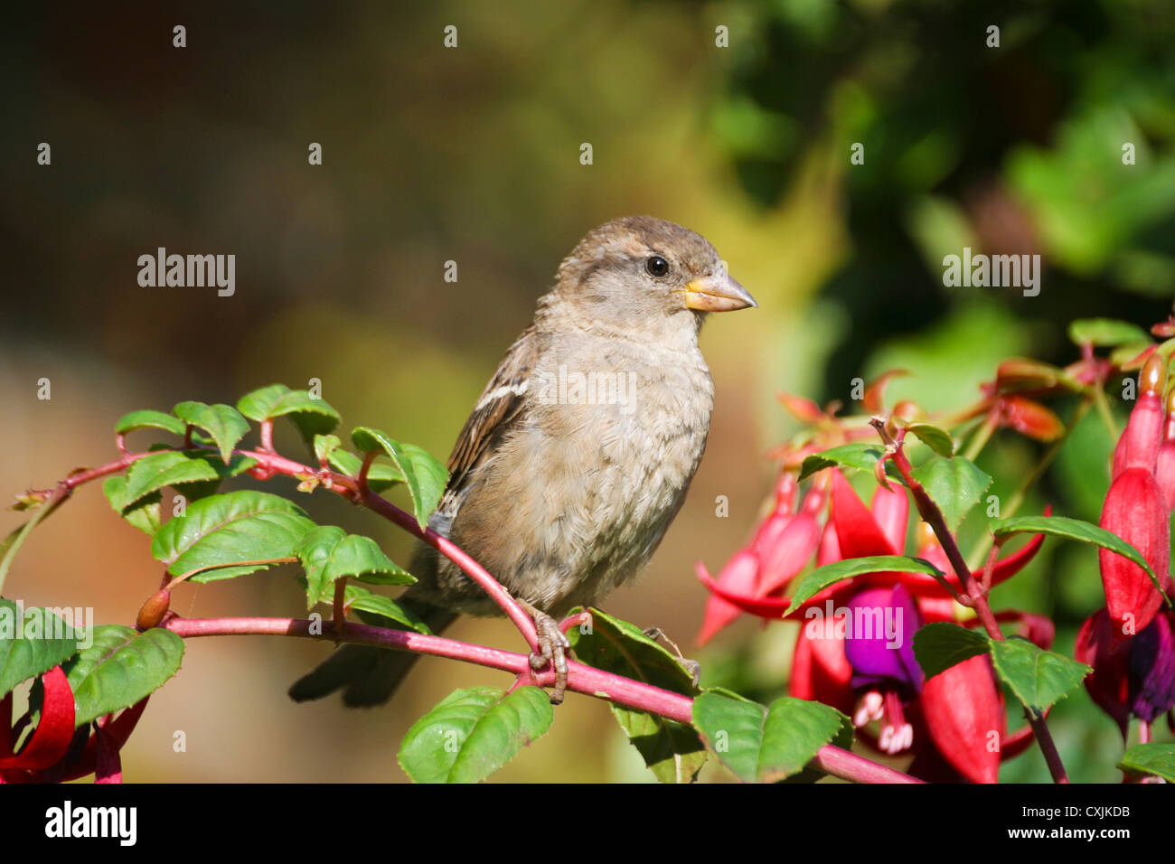 Small (Passer domesticus) House Sparrow bird - sitting on a fuchsia plant in a garden in summer, UK - Stock Image