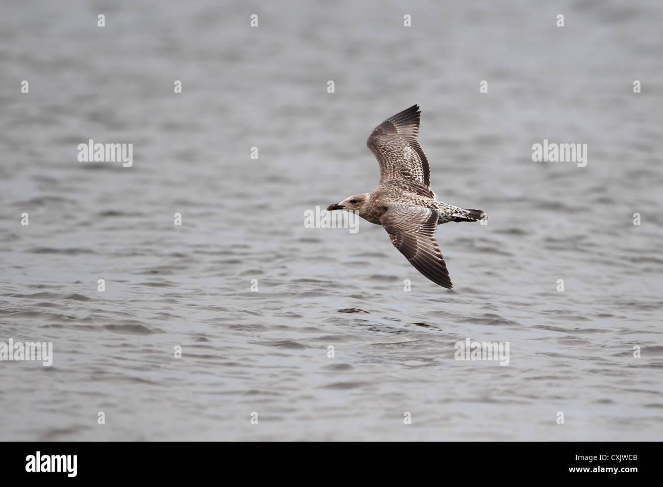 Herring Gull (Larus argentatus) - Stock Image