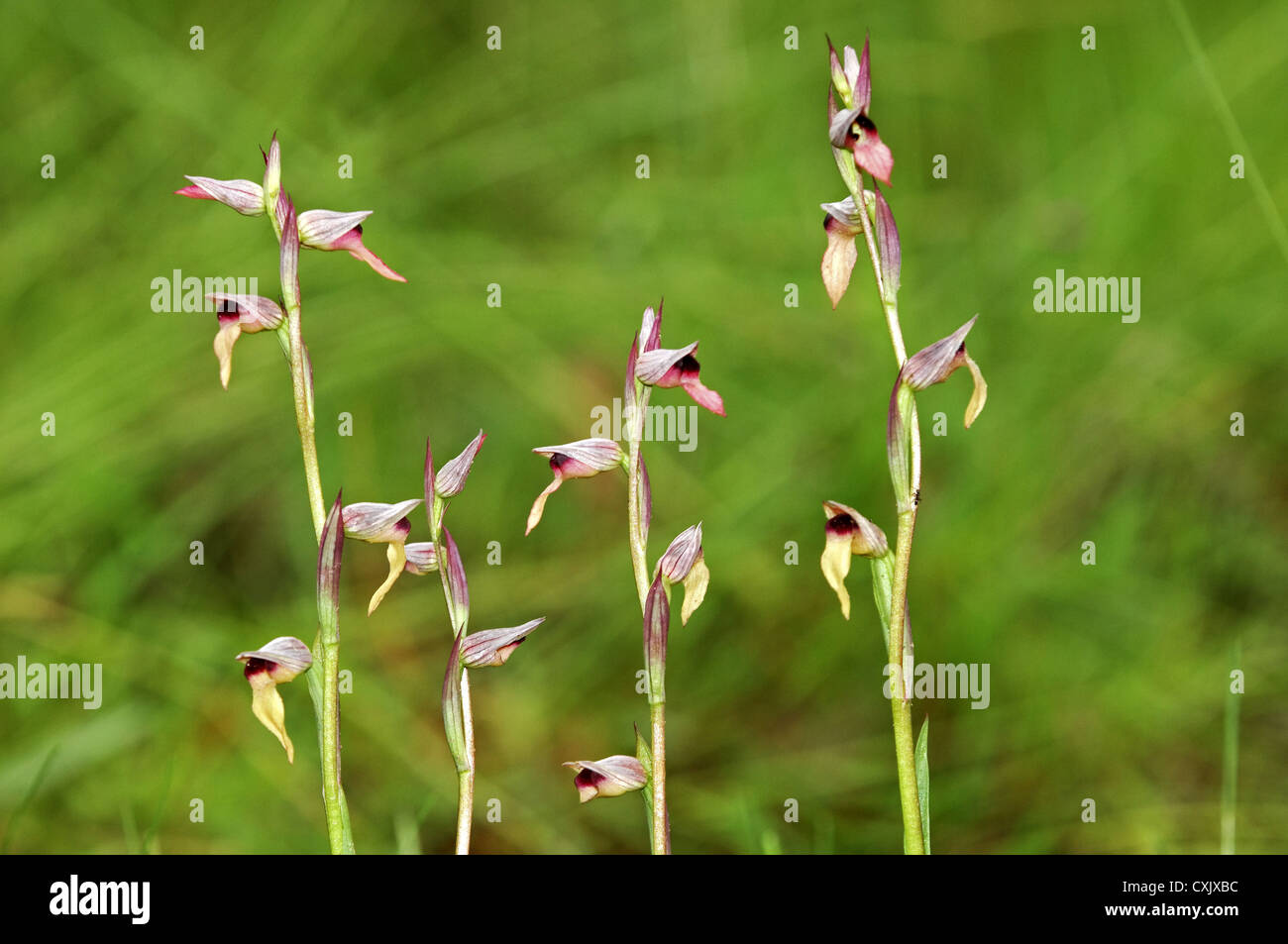 Serapias lingua, orchid - Stock Image