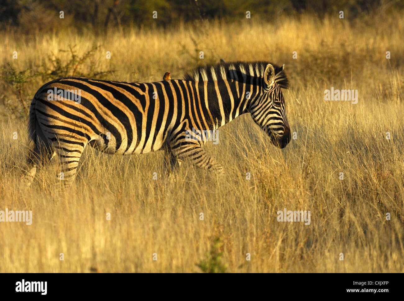 Plains Zebra in the savannah, South Africa - Stock Image