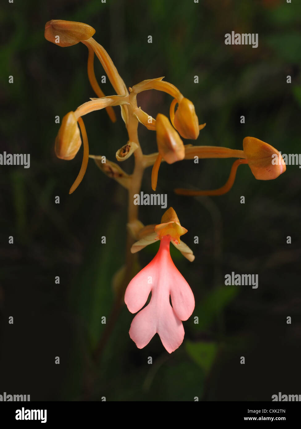 The Pink-Lipped Habenaria (Pink Snap Dragon Flower) found in tropical rain forests, National park, Thailand. Stock Photo